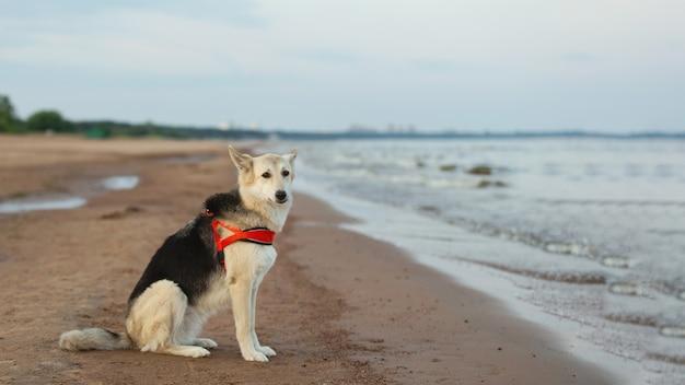 水辺の海岸線に座っている羊飼いの犬