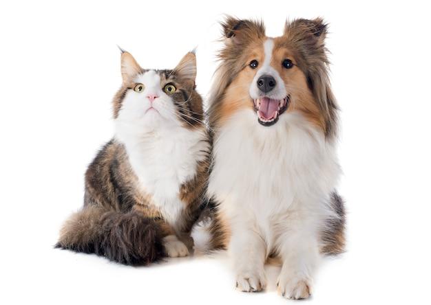 셰틀 랜드 개와 메인 coon 고양이