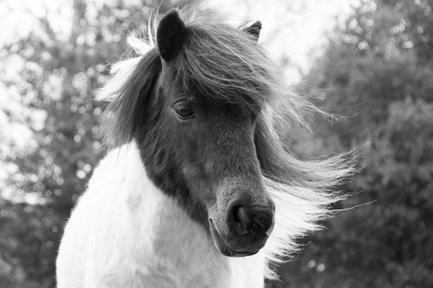 Shetland pony roaming free in the new forest