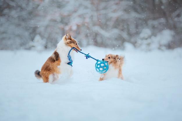 눈 속의 셰틀랜드 양견 겨울의 개 눈 속에서 노는 개