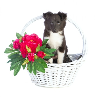 Shetland sheepdog in basket
