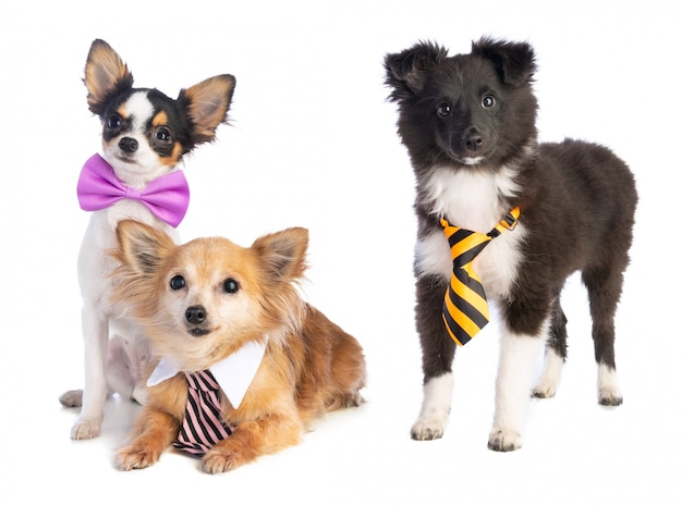 Shetland sheepdog and chihuahua with tie and bow tie