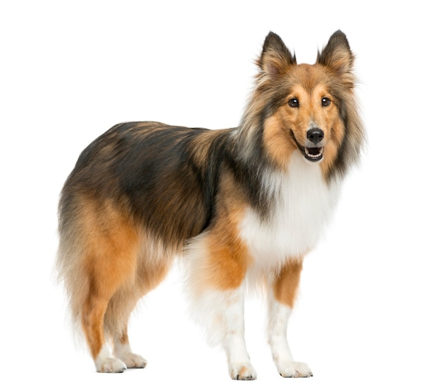 Shetland sheepdog in front of a white wall