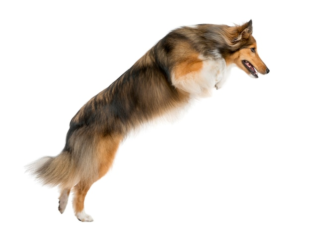 Shetland sheepdog jumping in front of a white wall