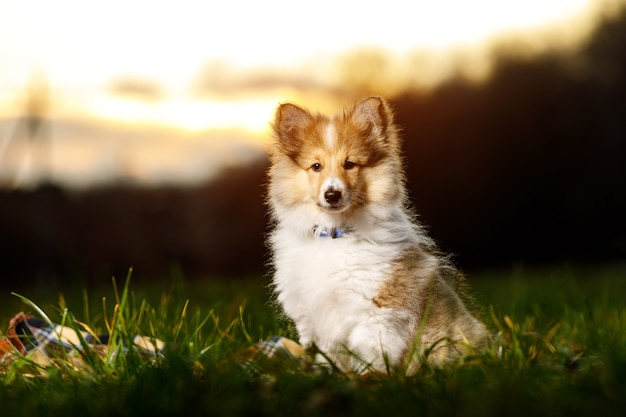 Shetland sheepdog puppy. sheltie on sunset.