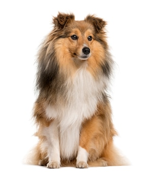 Shetland sheepdog sitting in front of a white wall