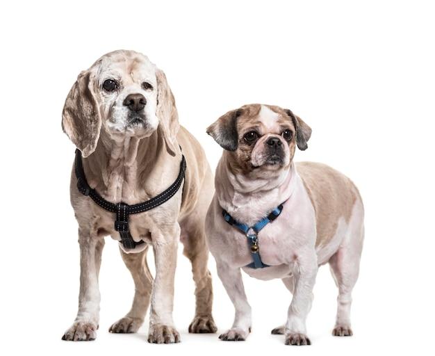立っているシーズーとコッカースパニエル犬
