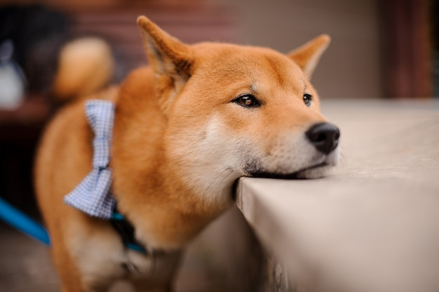 Shiba inu in the blue butterfly on the leash putting a head on the stone
