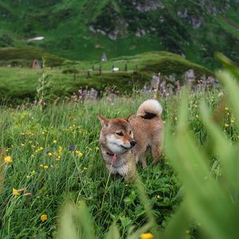 Shiba inu dog among alpine meadows in high grass wet after rain. mountain shelter bzerpinsky karniz