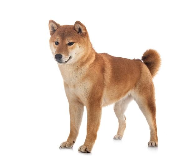 白い背景の前の柴犬