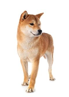目の前の柴犬
