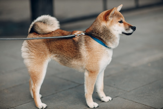 柴犬ペット日本国民犬oudoors