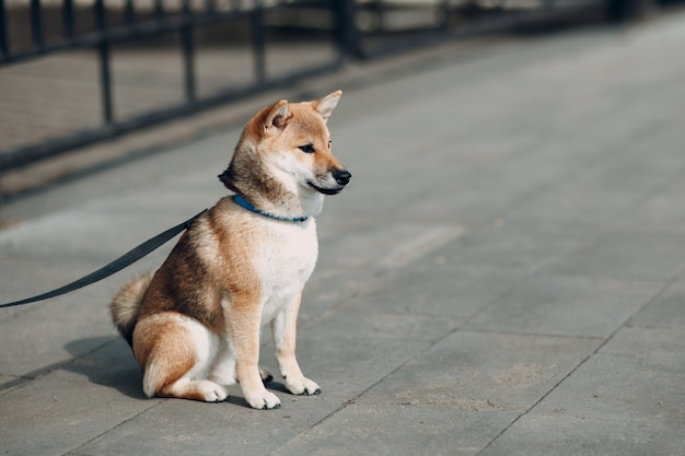 Домашнее животное сиба-ину японская национальная собака