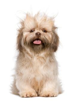シーズー、3歳。分離された犬の肖像画