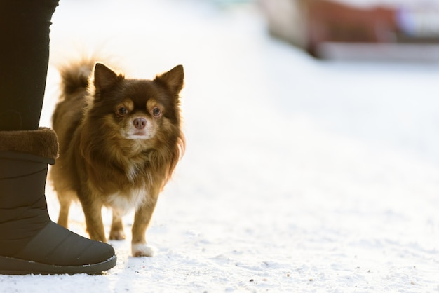 The shih tzu dog has playing snow in the morning and winter season at helsinki, finland.