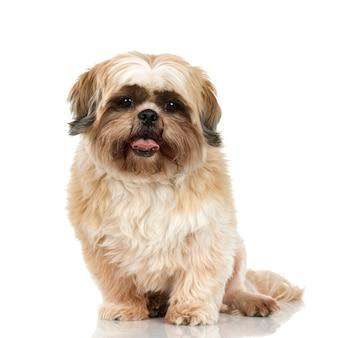 シーズー。分離された犬の肖像画