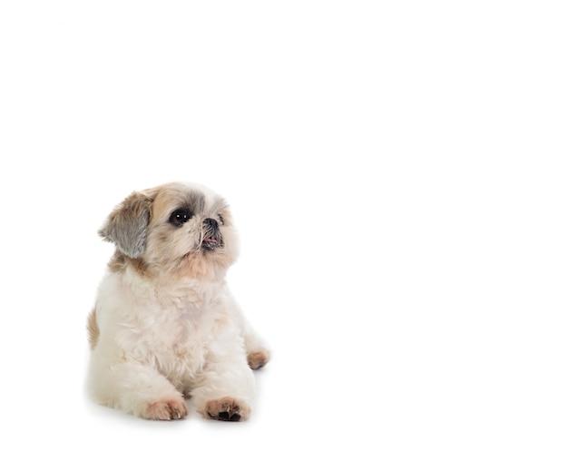 床に座っているシーズー犬