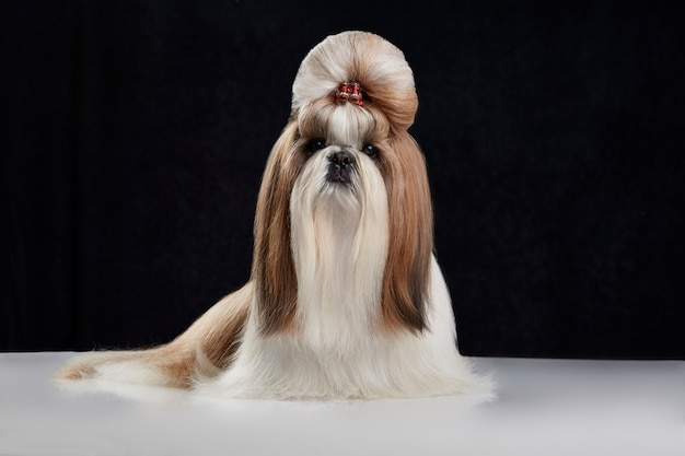 Shih tzu dog with hair bun