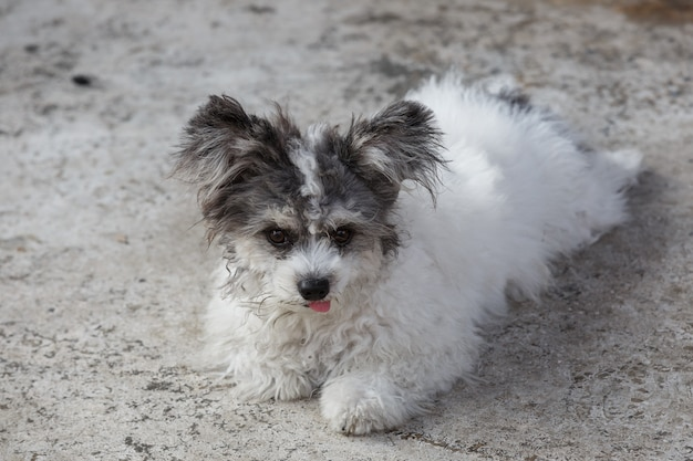 Shih tzu dogs are lying on the cement floor.