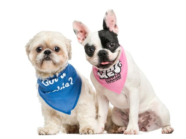 Shih tzu and french bulldog puppy wearing bandana sitting together, isolated on white