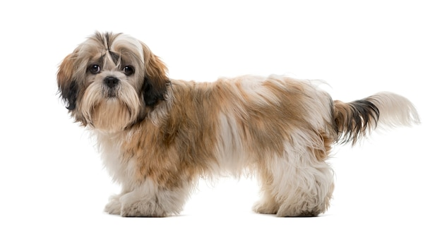 Shih tzu in front of a white wall