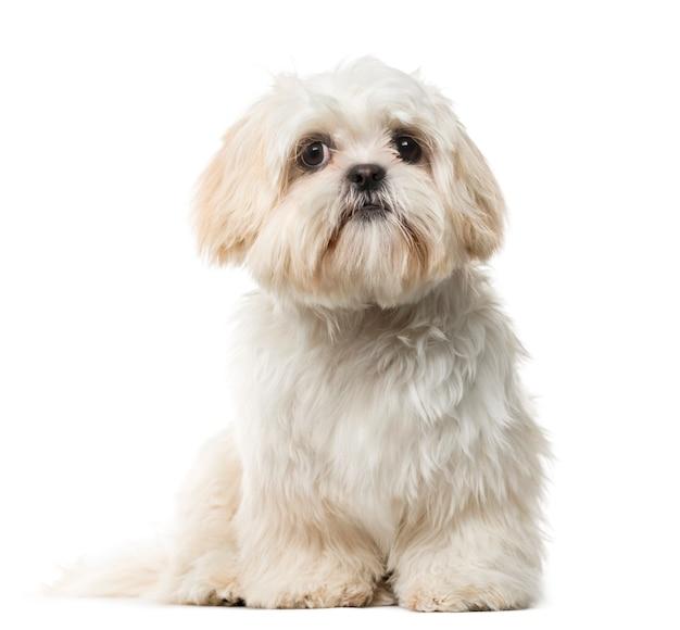 白い壁の前のシーズーの子犬
