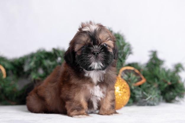 クリスマスの装飾と白のシーズーの子犬。
