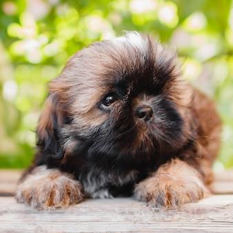ぼやけた緑の葉の背景にシー・ズーの子犬の肖像画