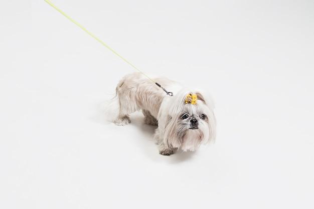 오렌지 활을 입고 shih-tzu 강아지. 귀여운 강아지 또는 애완 동물은 흰색 배경에 고립 된 서. 국화 개. 텍스트 또는 이미지를 삽입 할 여백입니다.
