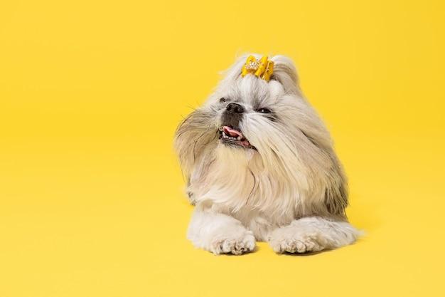 Cucciolo di shih-tzu che porta l'arco arancione. il simpatico cagnolino o animale domestico giace isolato su sfondo giallo. il cane crisantemo. spazio negativo per inserire il testo o l'immagine.