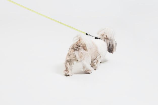 Cucciolo di shih-tzu che porta l'arco arancione. il cagnolino o l'animale domestico sveglio sta levandosi in piedi isolato su fondo bianco. il cane crisantemo. spazio negativo per inserire il testo o l'immagine.