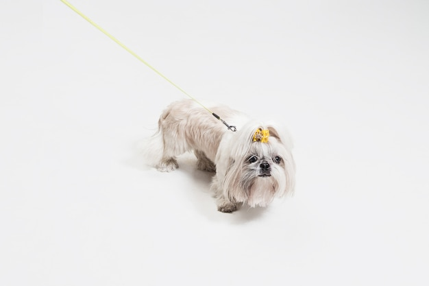Shih-tzu puppy wearing orange bow. cute doggy or pet is standing isolated on white background. the chrysanthemum dog. negative space to insert your text or image.