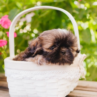 Shih tzu puppy in a white basket over green leaves