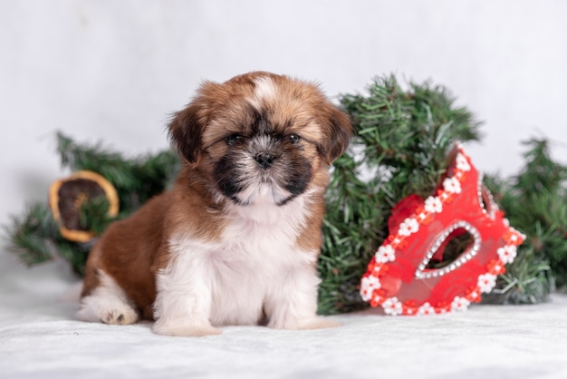 Shih tzu puppy on white with christmas decorations. christmas decor.