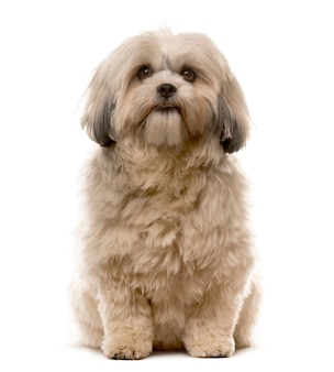 Shih tzu sitting in front of a white wall
