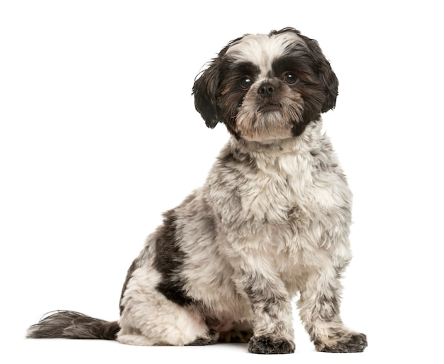 Shih tzu sitting in front of white wall