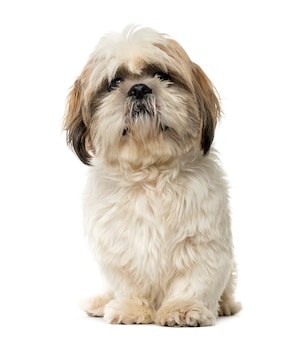 Shih tzu sitting and looking at the camera