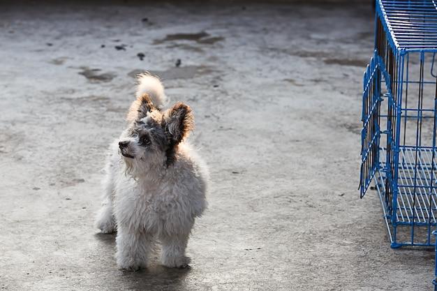 Shih tzu standing on the cement floor.