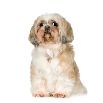 11年のシーズー。分離された犬の肖像画