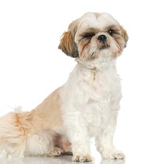 2年のシーズー。分離された犬の肖像画
