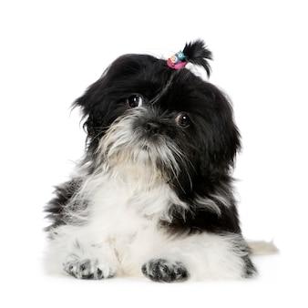 シーズーと4ヶ月。分離された犬の肖像画