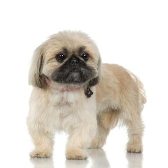 5年のシーズー。分離された犬の肖像画
