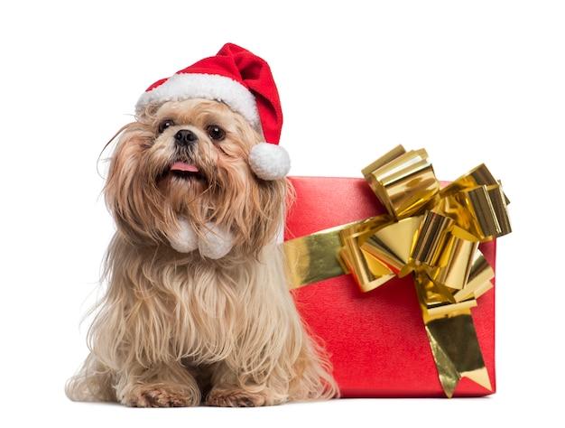 プレゼントボックスの横に座っているクリスマス帽子のシーズー