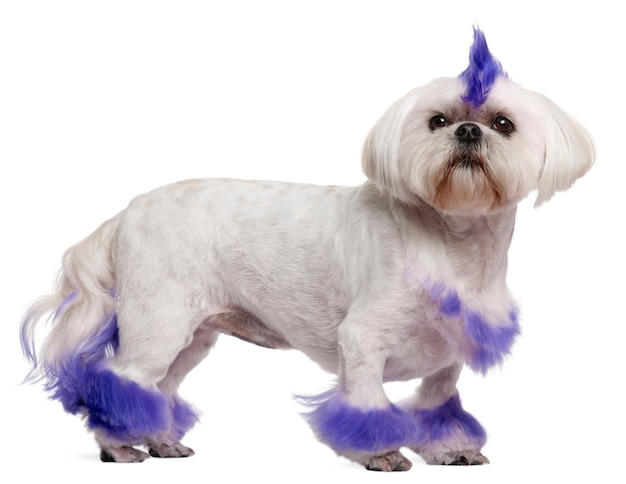 Shih tzu with purple mohawk, 2 years old, standing