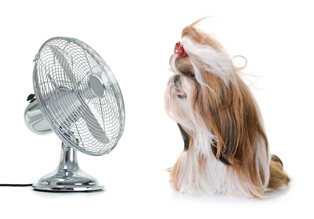 Shihtzu and fan