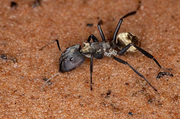 Мерцающий золотой сахарный муравей вида camponotus sericeiventris, кастовый солдат на песке