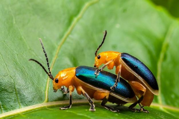 Shining flea beetle - asphaera lustrans - пара занимается сексом на листе