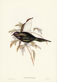 Shining starling (Aplonis metallica) illustrated by Elizabeth Gould