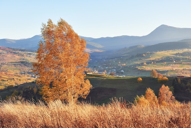Shiny beech tree on a hill slope with sunny beams at mountain valley.