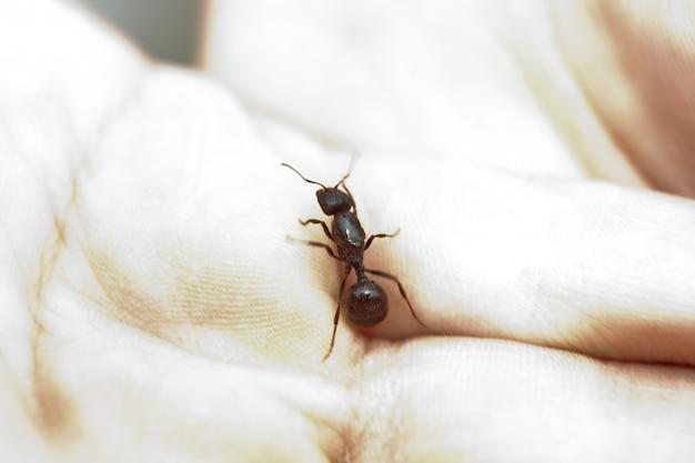 Shiny large black ant cervix close-up.